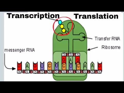 DNA Translation and Transcription