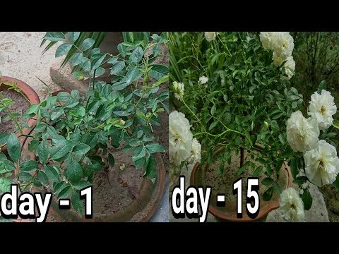 fertilizers for rose blooming :: gulab me kaise achhe phool pae