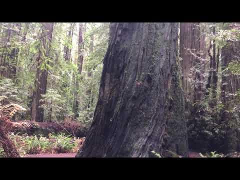 Walk through Founder's Grove, Redwood National Park