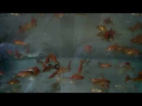 Orange regular gold fish - aquarium fish