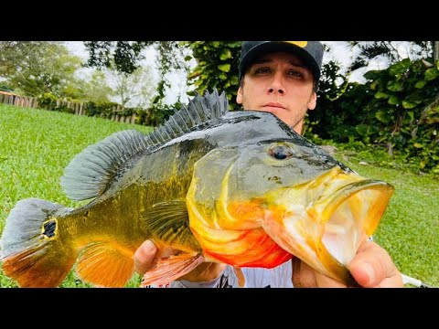 Peacock bass on lures 101