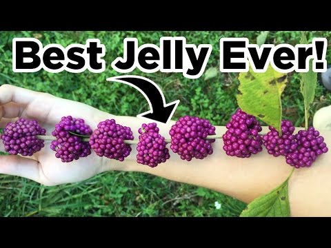 Can you make jelly from weeds? (Beautyberry Jelly) | BB