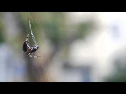 European Garden Spider (Araneus diadematus) Feeding