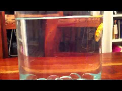 Bob the amazing upside down goldfish