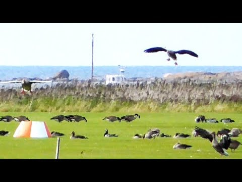 Barnacle Geese, Canada Geese and Greylag Geese resting on an airfield at the Kattegat