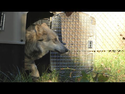 Endangered Mexican Wolf Arrives at the Wolf Conservation Center