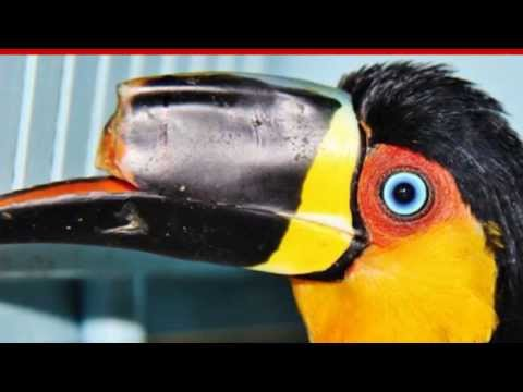 Mutilated Toucan Gets 3D Printed Beak after abuse