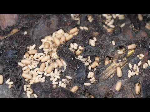 EXPOSING & MOVING MASSIVE ANT NEST