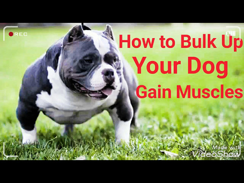 How to bulk up your dog and gain muscles-Ganhar peso de cão e ganhar músculos.