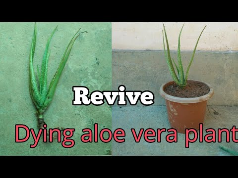 How to revive a dying aloe vera plant step by step