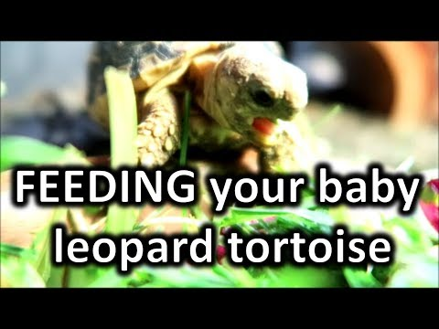 What to feed your baby leopard tortoise | happytortoises