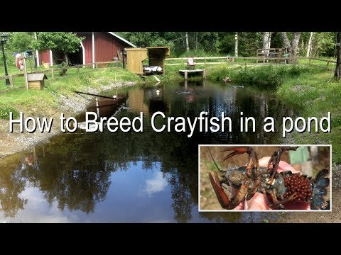 How to Breed Crayfish/Crawfish in a Pond