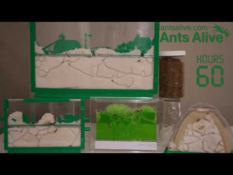 5 Ant Farms. 66 hours in 2 minutes