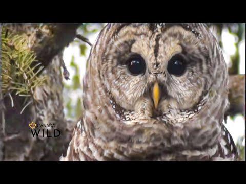 BARRED OWL AMAZING VOCALS!