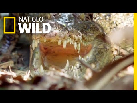 The Nile Crocodile Grows To Be How Big? | Nat Geo Wild