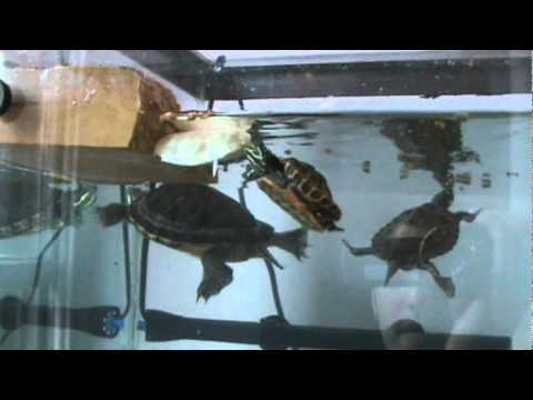 Feeding Aquatic Turtles