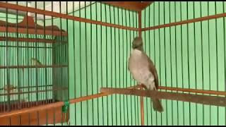 Burung Cikrok Merdu Asyik