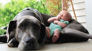 Perros Grandes y Bebés excelente combinación.