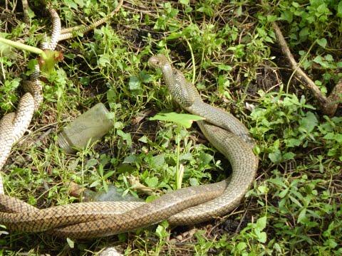 Viral in India - Two snake dancing in Saavan (Monsoon) month