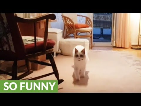 Ragdoll cat thinks he's a dog, loves playing fetch
