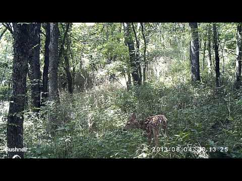 Two whitetail deer fawns