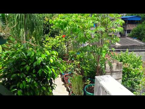 How to grow Neem plant in a pot....