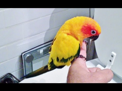 MY SUN CONURE POOPS ON COMMAND IN TOILET