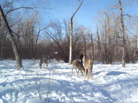 Calling the Deer