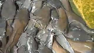 Fish Farm in Kolkata - The Most Popular High Quality Videos