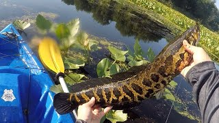 GIANT Snakeheads CRUSHING FROGS!