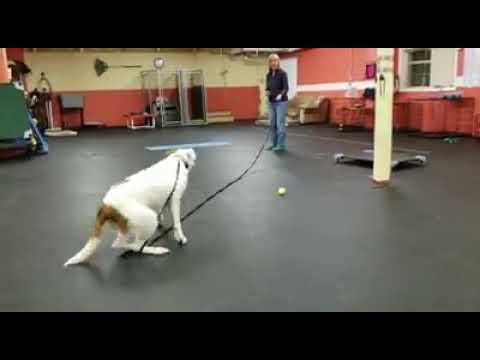 Training Dogs on Recall   Focus work for Dog Training