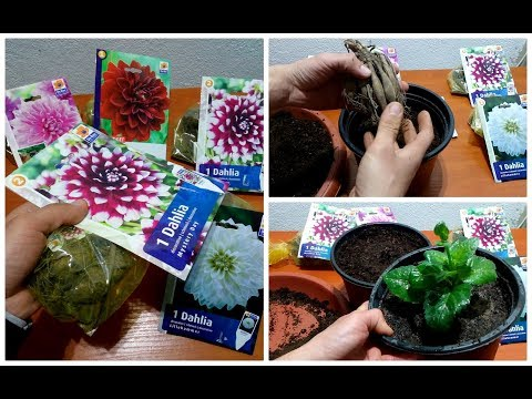 How to Grow Dahlias in а Pot