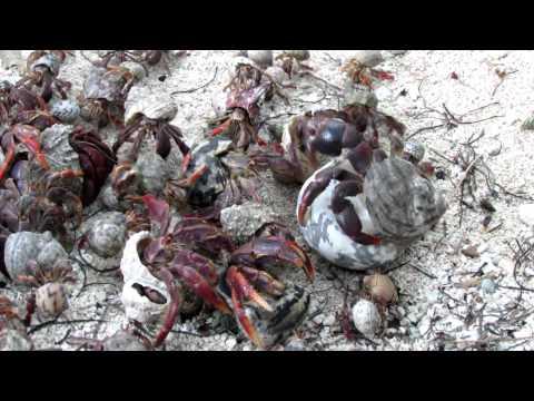 Hermit Crabs narrated