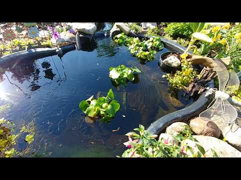 AMAZINGLY simple trick to avoid pea green water in your little ponds.