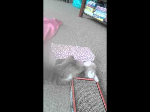 How to Keep a Kitten Entertained!