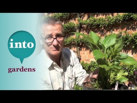 Gardening at Blackpitts: pinching out Dahlias Pt.2