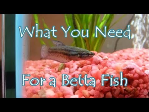What You Need For a Betta Fish