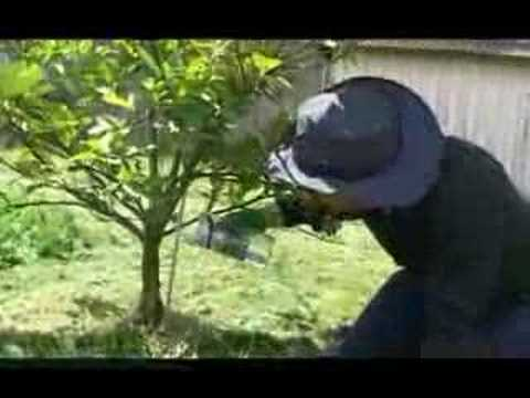 Gardening Australia - Lemon Tree
