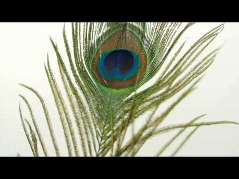Peacock Bird Feather PlumePluma Quill Large Jumbo VaseFiller Wedding HomeDecor