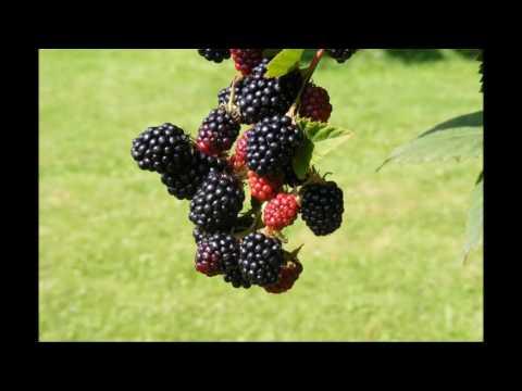 Rod's Wild Blackberry
