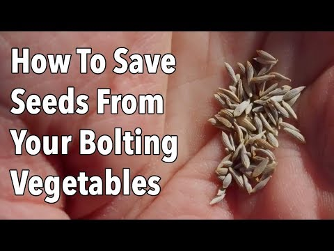 How To Save Seeds From Your Bolting Vegetables