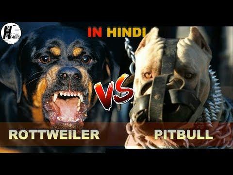 Rottweiler VS Pitbull | Hindi | COMPARISON | DOG VS DOG | HINGLISH FACTS