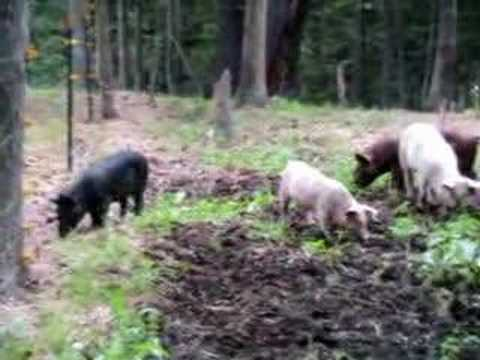 Mr. Pig Meets electric fence!