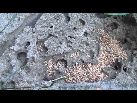 Uncovering an ants nest (close up)