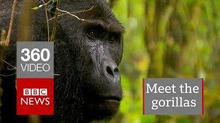 Gorillas of the Congo in 360 - BBC News