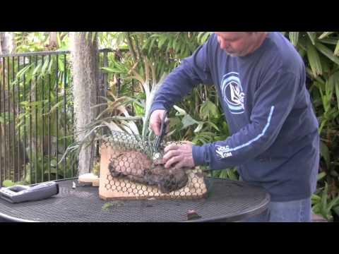 Remounting Staghorn Ferns