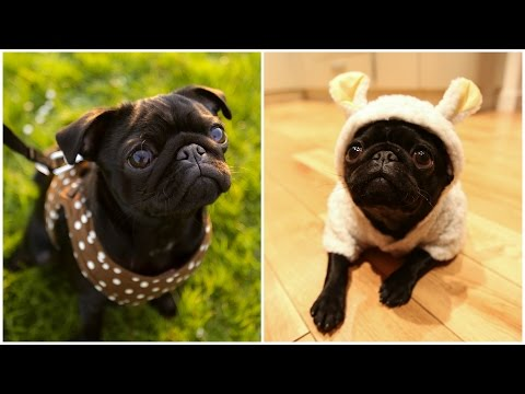 Cutest Pug In The World! Ad