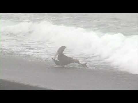 24/02/2013: Petrels attack and kill chinstrap penguins, Deception Island, South Shetland, Antarctica
