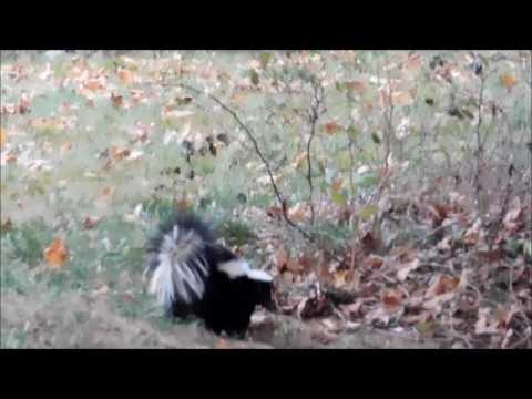 cat vs the skunk