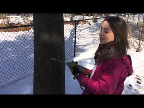 How to Tap Your Own Maple Trees to Make Maple Syrup